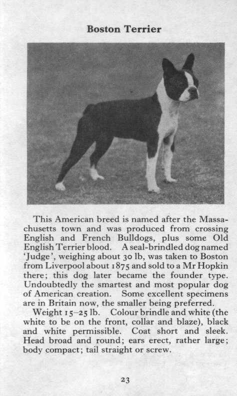 Boston Terrier Breed Description