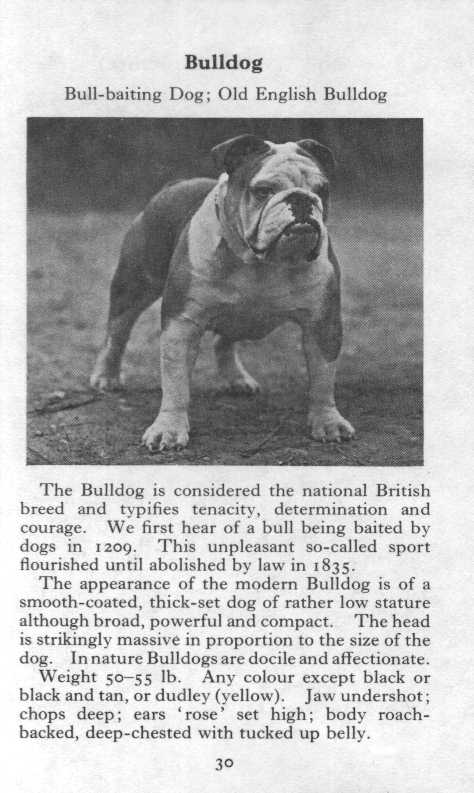 Bulldog Breed Description