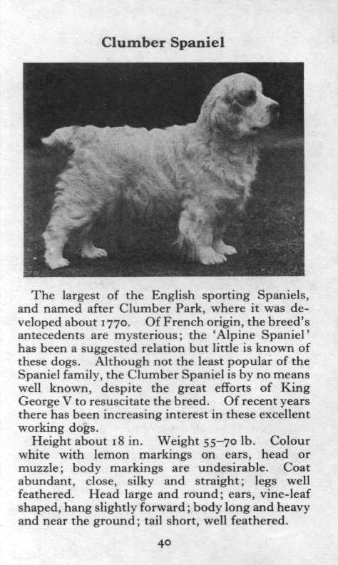 Clumber Spaniel Breed Description