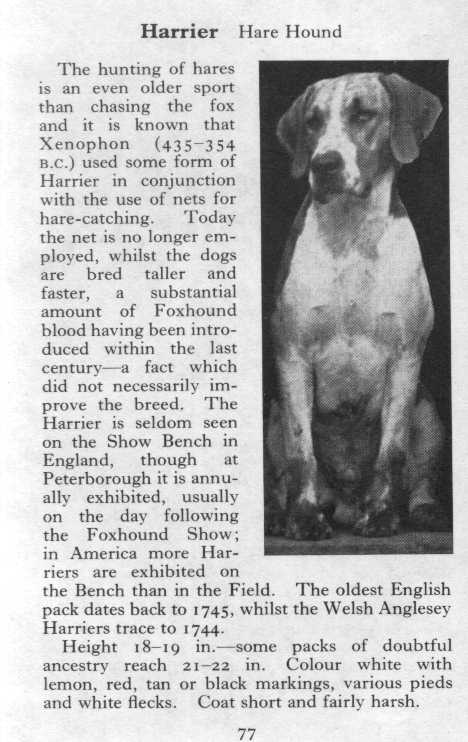 Harrier Hound Breed Description