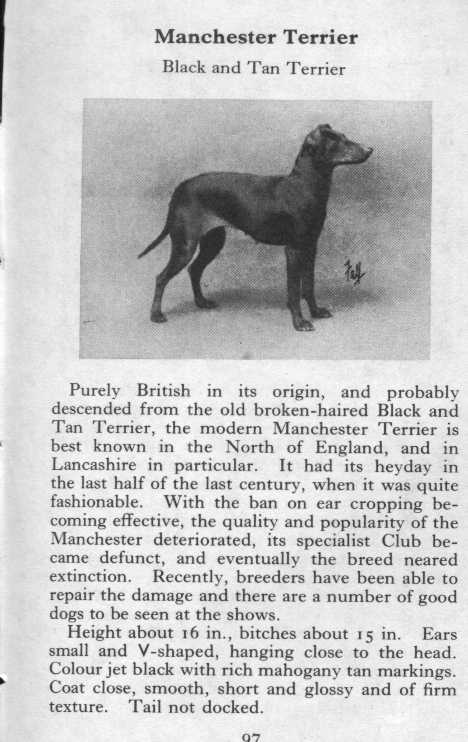 Manchester Terrier Breed Description